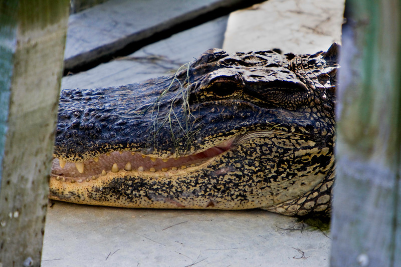 Gator Headshot
