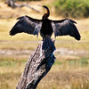 African Darter drying its wings<br /> Chobe River, Botswana