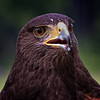 Harris Hawk<br /> Center for Birds of Prey, Awendaw, South Carolina