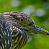Pawleys2014-9296 (Juvenile Black Crowned Night Heron)