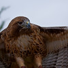 Red_Tailed_Hawk-1580