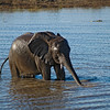 Young Elephant Drinking