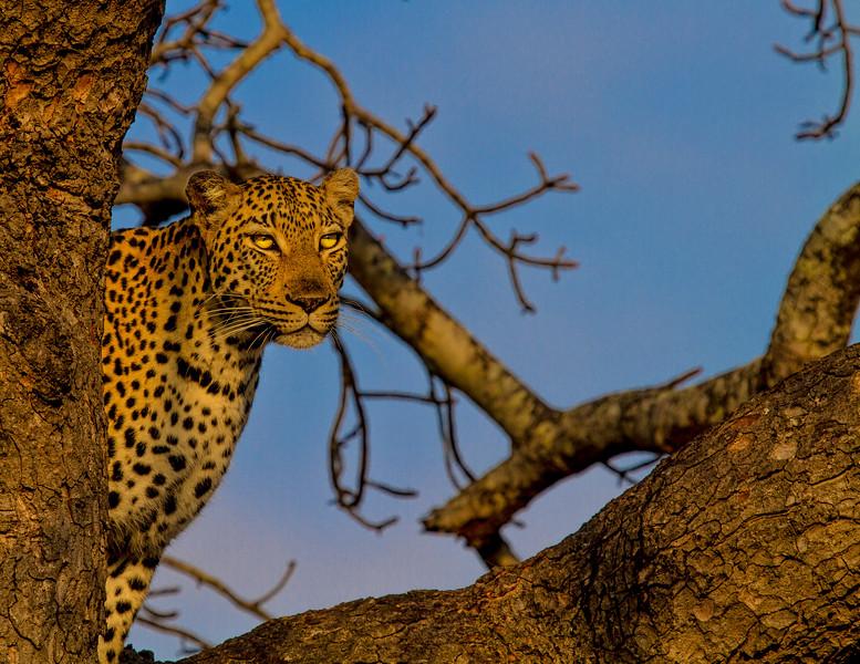 Ngala0717AM-9575 Glaring Leopard