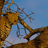 Ngala0717AM-9575 Glaring Leopard