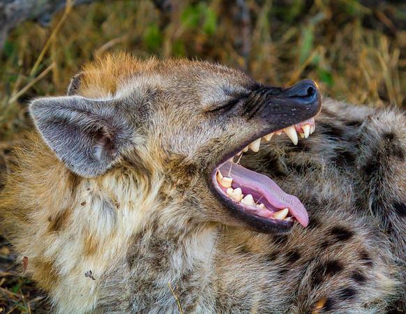 Hyena Yawn