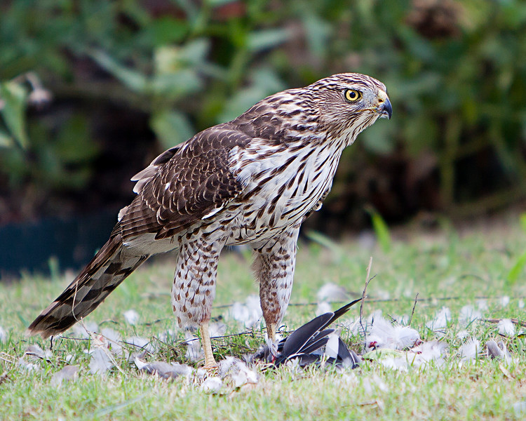 Immature Cooper's Hawk guarding the remains of his prey.<br /> Allen,TX