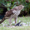 Immature Cooper's Hawk guarding the remains of his prey.<br /> Allen,TX