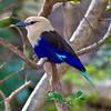 BlueBelliedRoller_0279