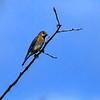 Hagerman_NWR-6243 (bluebird)