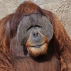 FWZ Big Male Orang