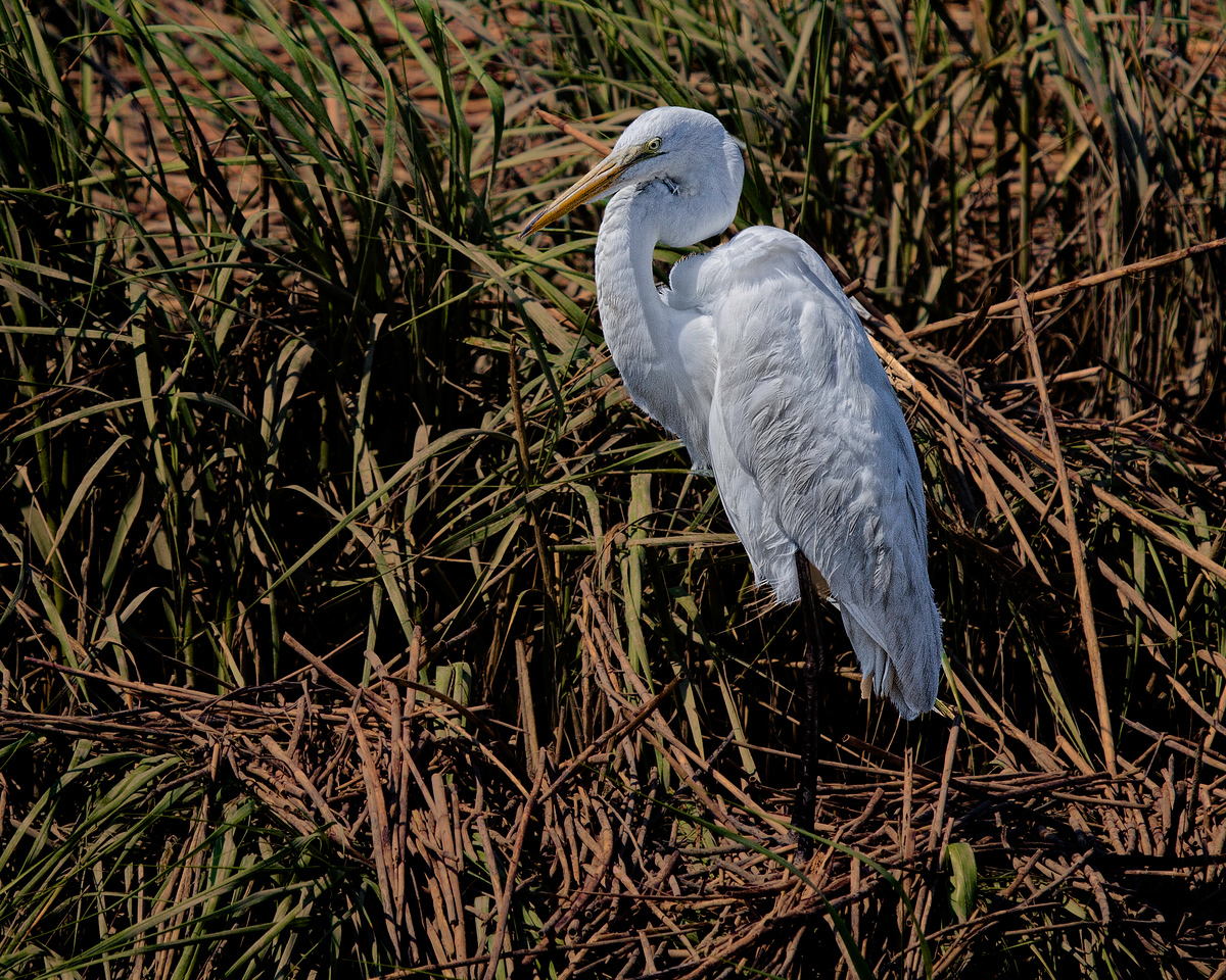Great Egret-1771