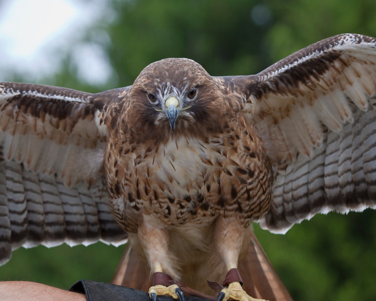 Red_Tailed_Hawk-1585