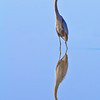 Reflecting Great Blue Heron - 8825