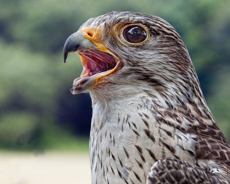 Lannar Falcon
