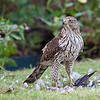 Immature Cooper's Hawk protecting his kill<br /> Allen, TX