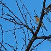 Hagerman_NWR_2014-6267 (Bluebird)