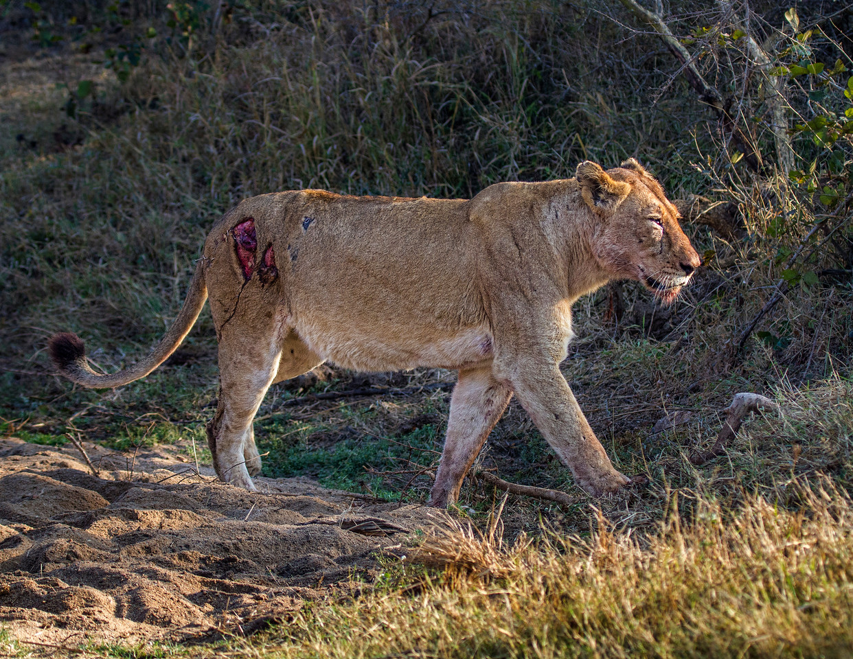 Ngala0715AM-8158 Injured Lioness