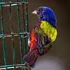 Painted Bunting on Feeder