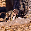 Baby Chacma Baboon digging for grubs.<br /> Chobe National Park, Botswana