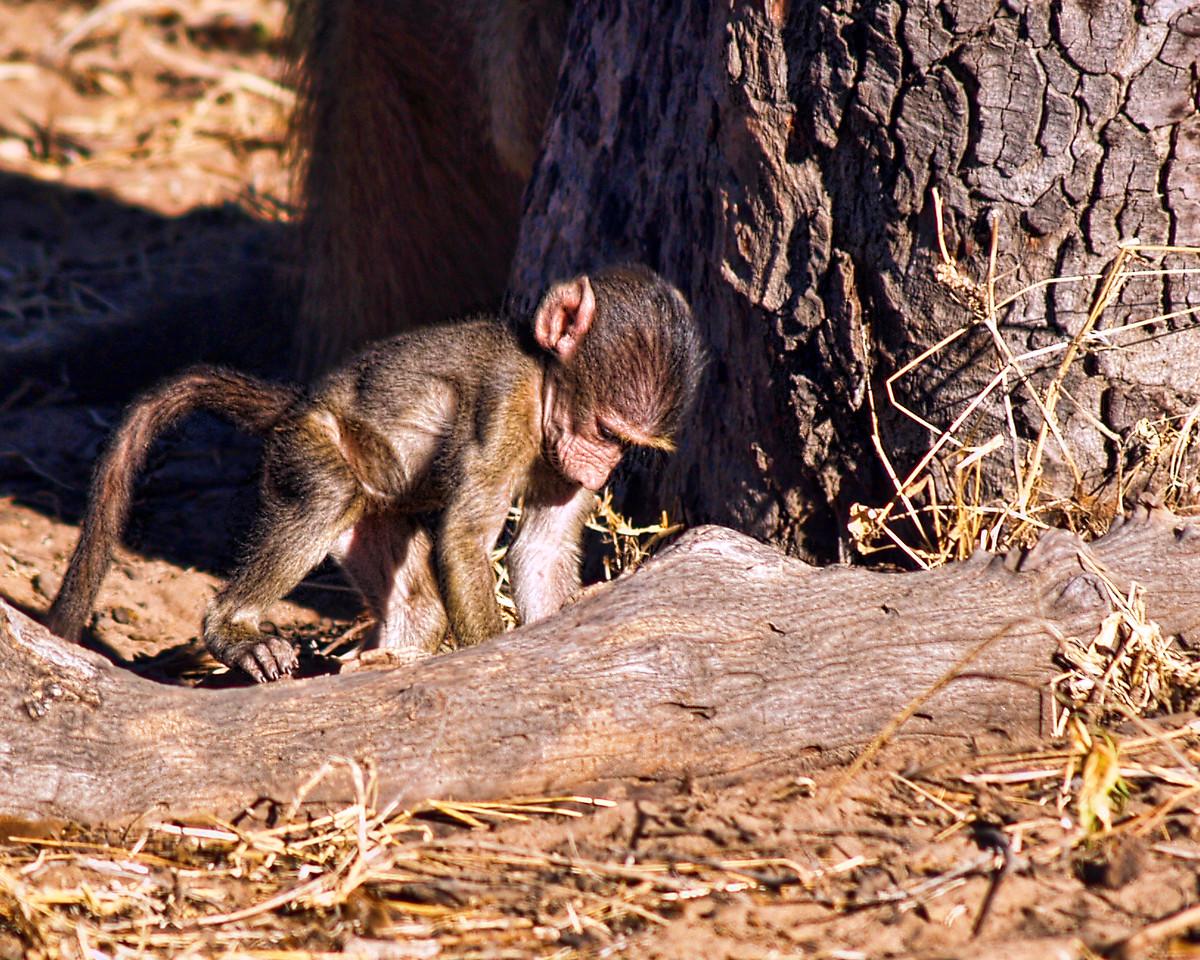 Baby Chacma Baboon digging for grubs.<br /> Chobe National Park, Botswana