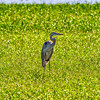 Great Blue Heron-4376