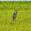 Great Blue Heron-4376
