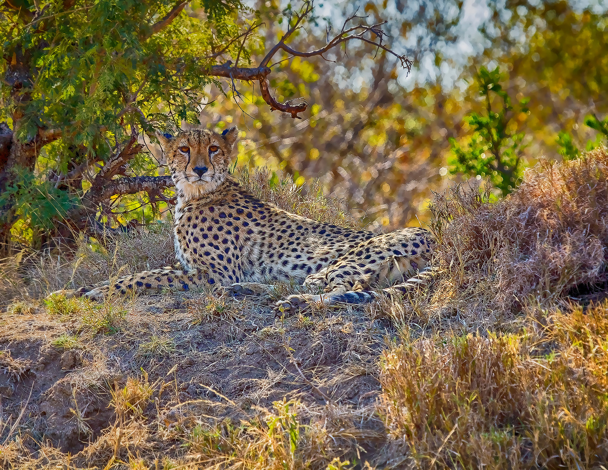 Ngala0714AM-7787 Lounging Cheetah