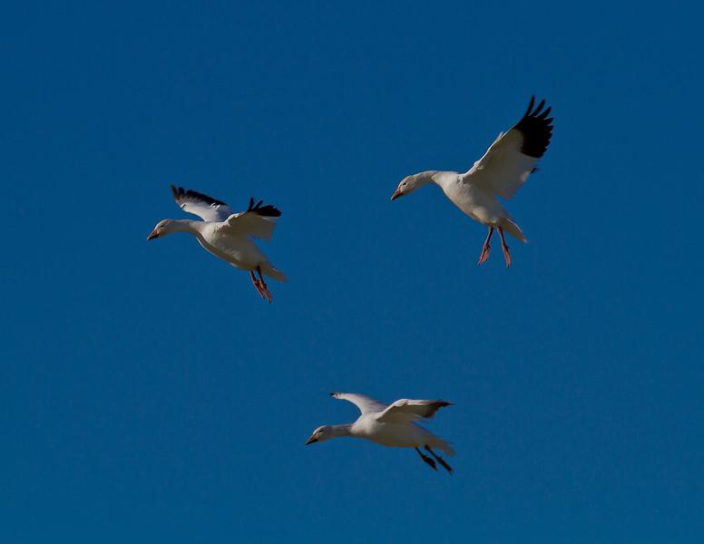 Snow Goose Trio - 8769
