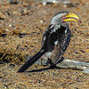 Ngala0713AM-6762 Yellow Billed Hornbill