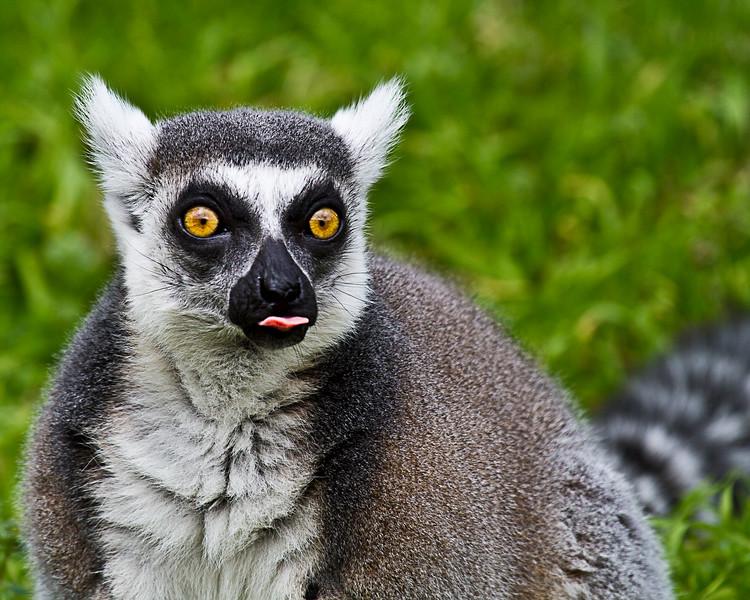 Ring Tailed Lemur-1457