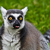 Ring Tailed Lemur-1457
