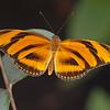 OrangeBandedButterflySpread