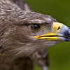 Tawny Eagle<br /> Center for Birds of Prey, Awendaw, South Carolina