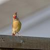 Lady Cardinal-0654