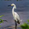 Snowy Egret-5609