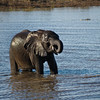 Young Elephant Drinking 2
