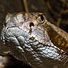 Eastern Diamondback-0982