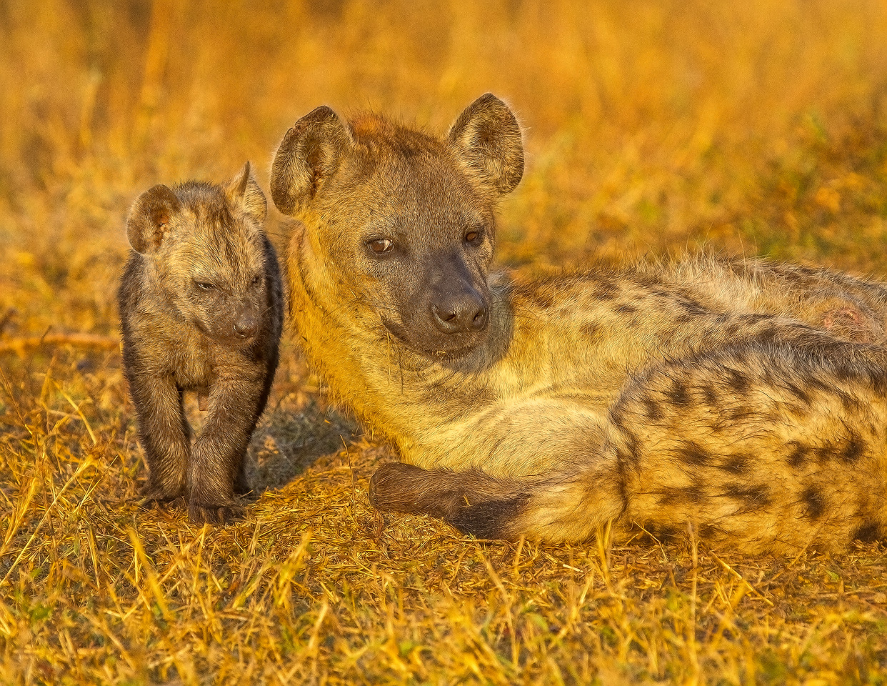 Ngala0716AM-8886 Hyena and Cub