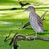 Swamp Stalker