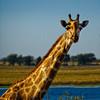 Chobe RIver Giraffe