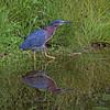Green Heron2012-9262