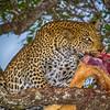 Ngala0715PM-8680 Male Leopard Feeding