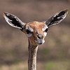 ET - Phone Home!  ( A female Gerenuk)