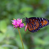Monarch on Ironweed