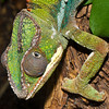 Panther Chameleon-0925