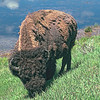 Grazing Bison<br /> Yellowstone National PArk