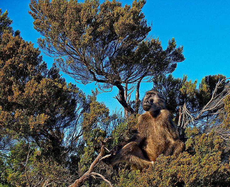 Cape of Good Hope Baboon 2