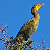 Tropical Cormorant