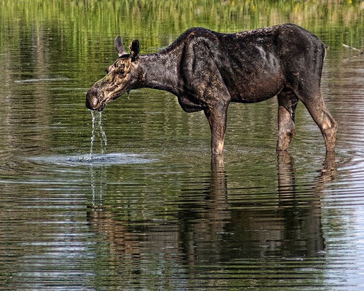 Moose Dribble<br /> Grand Teton National Park