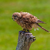 CenterBirdsOfPrey2014-0478 (rousing Eurasian kestrel)